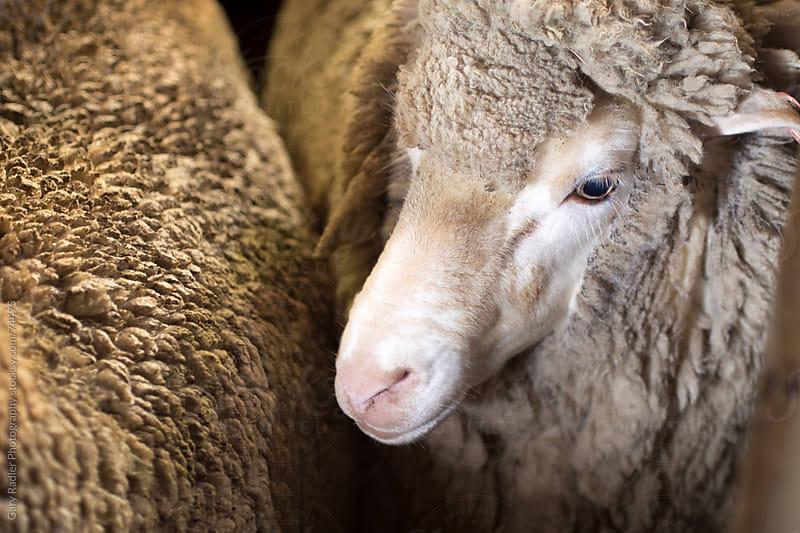 Adult Merino Sheep with Full Fleece by Gary Radler Photography for Stocksy United