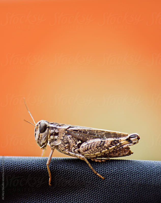Small grasshopper with orange background by ACALU Studio for Stocksy United