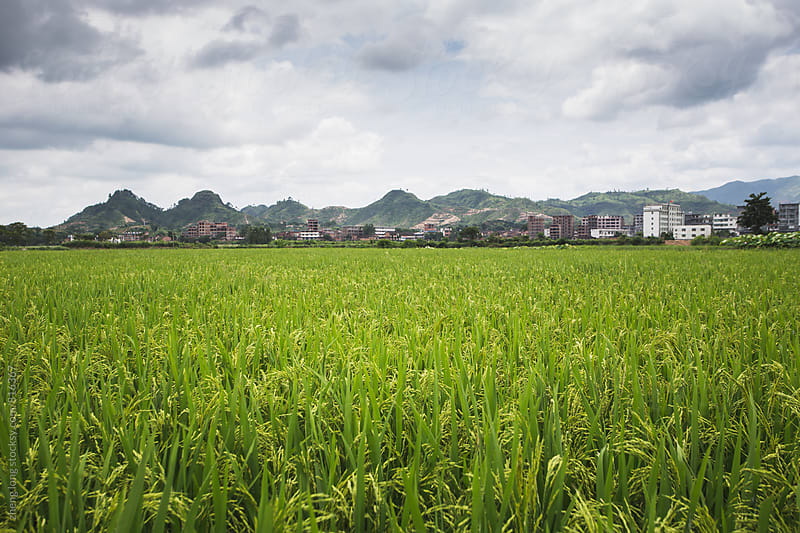 rice field by zheng long for Stocksy United