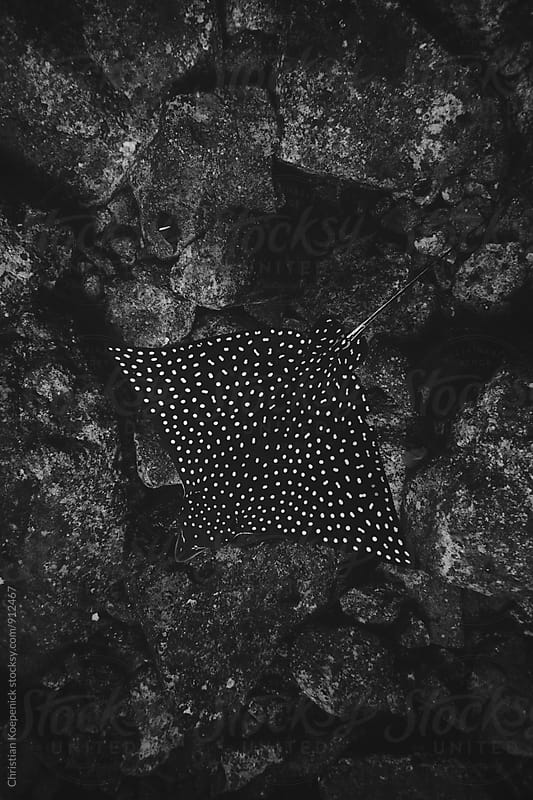 Eagle Ray by Christian Koepenick for Stocksy United