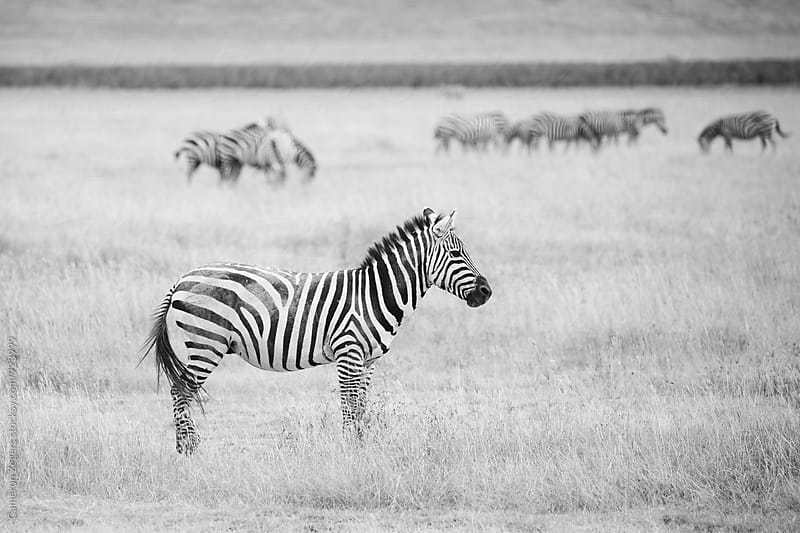 zebra in Ngorongoro Crater Conservation Area, Tanzania by Cameron Zegers for Stocksy United