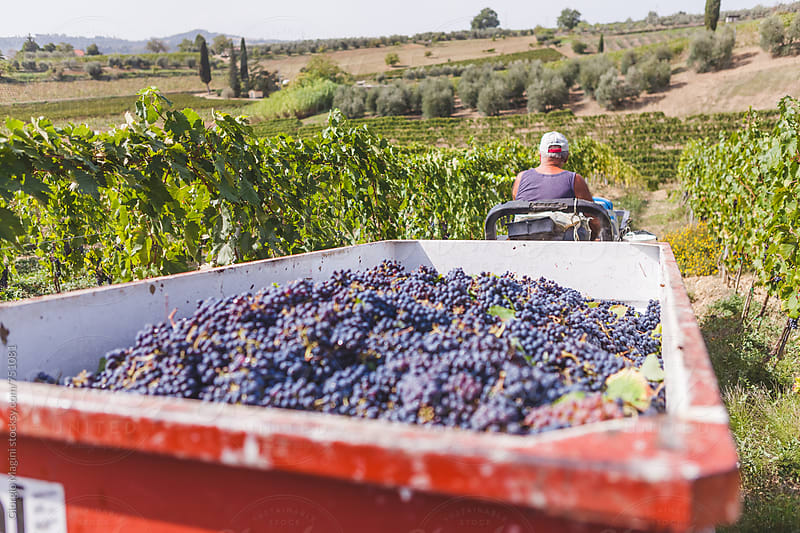 Senior Farmer Moving the Tractor Full of Grapevines, Grape Harvest in Tuscany by Giorgio Magini for Stocksy United