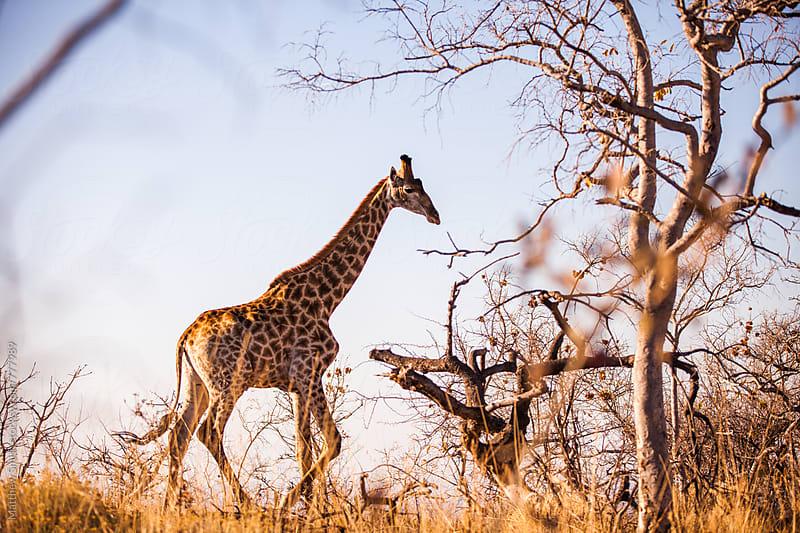 Giraffe Walking In The Wild by Matthew Smith for Stocksy United