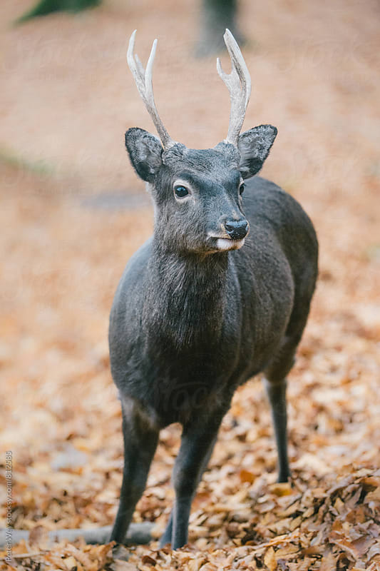 male sika deer  by Peter Wey for Stocksy United