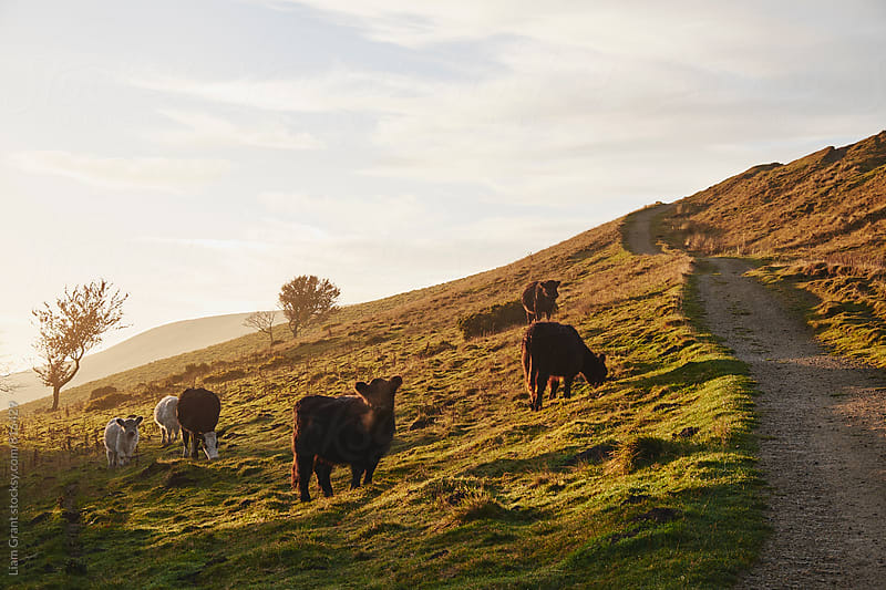 Cattle grazing on mountainside. Derbyshire, UK. by Liam Grant for Stocksy United