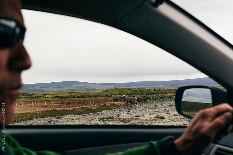 A Wild Sheep seen from a Car by Willie Dalton for Stocksy United