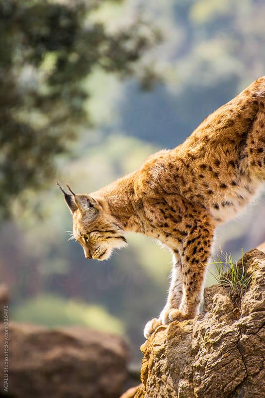 Boreal lynx by ACALU Studio for Stocksy United
