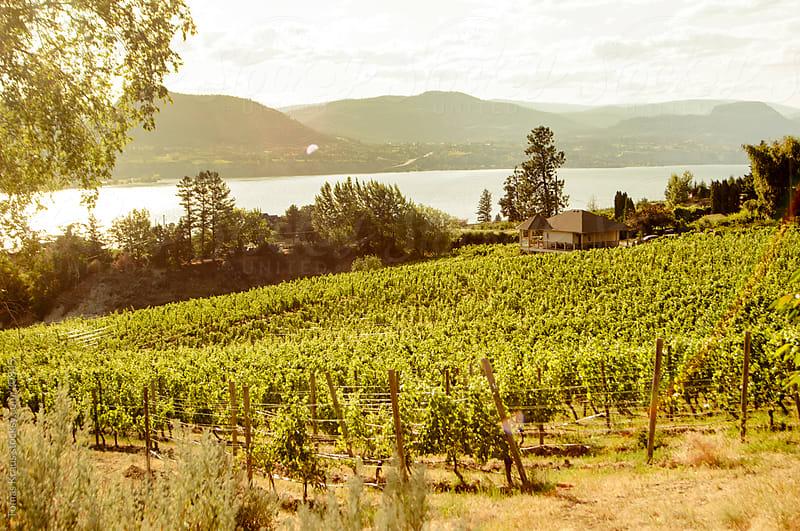 summer vineyard at lake  by Tomas Kraus for Stocksy United