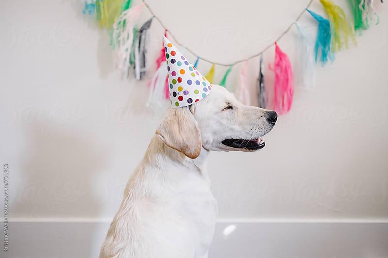 White dog celebrating birthday by Kristine Weilert for Stocksy United