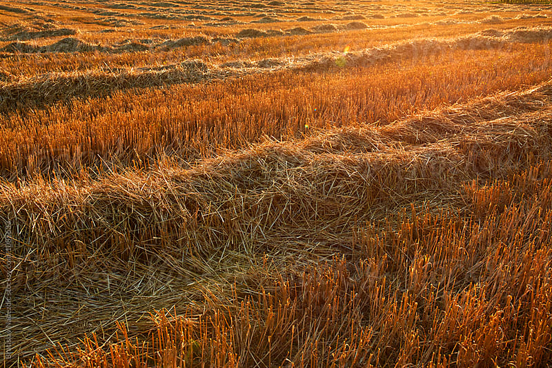 Mowed wheat by Bratislav Nadezdic for Stocksy United