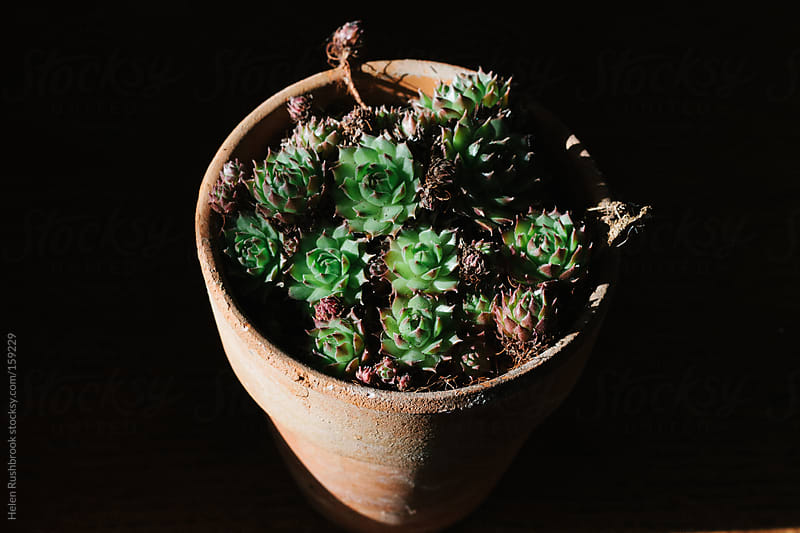 Sempervivums by Helen Rushbrook for Stocksy United