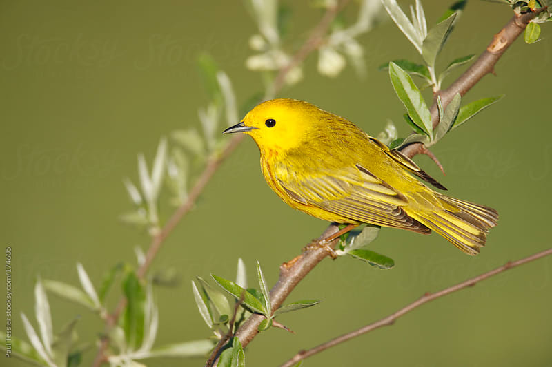 Yellow Warbler by Paul Tessier for Stocksy United