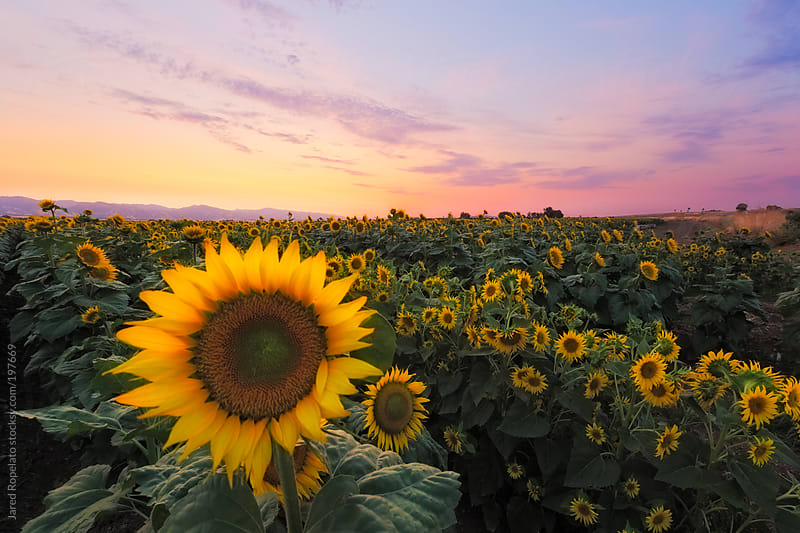 Sunflowers in a Field by Jared Ropelato for Stocksy United