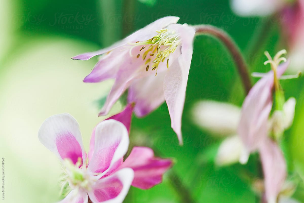 Close Up Of White And Pink Columbine Aquilegia Flower And Bud In