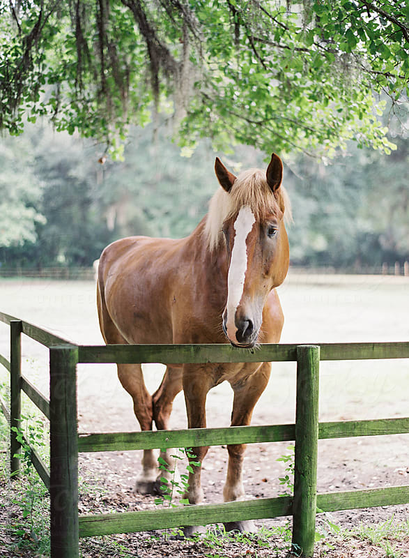 Farm Horse  by Vicki Grafton Photography for Stocksy United