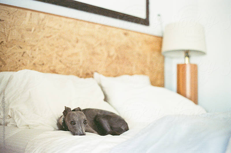 Grey whippet curled on a  white bed by Briana Morrison for Stocksy United