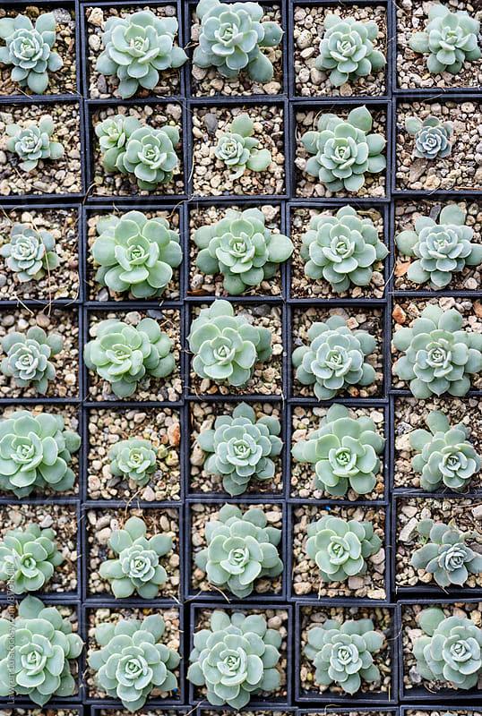 Beautiful Succulent Plants in Small Pots in Order by Lawren Lu for Stocksy United