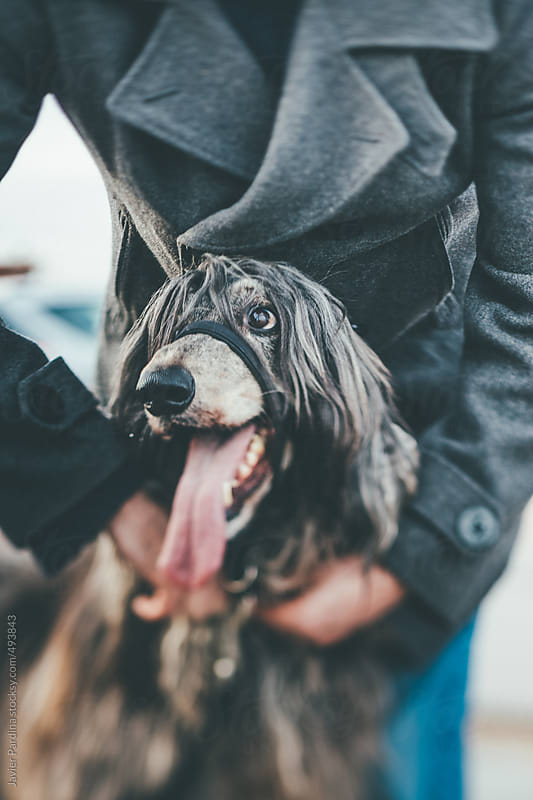 Owner placing a Halti on his dog . by Javier Pardina for Stocksy United