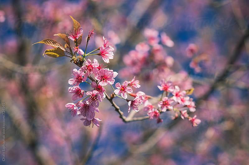 Prunus  Budding by Chalit Saphaphak for Stocksy United