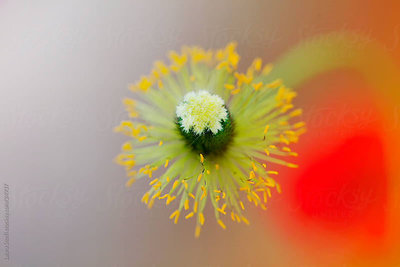 Close-up of yellow pistils on petal less poppy (Papaver orientalis) flower head  by Laura Stolfi for Stocksy United