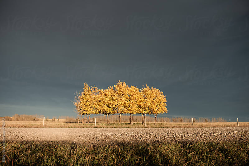 Grove of birch trees in front of an ominous sky by Riley J.B. for Stocksy United
