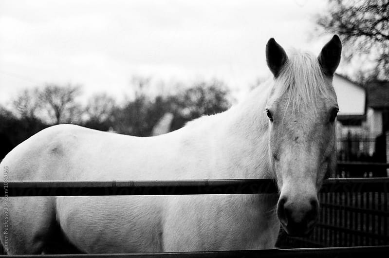 White horse by a gate by Lauren Naefe for Stocksy United