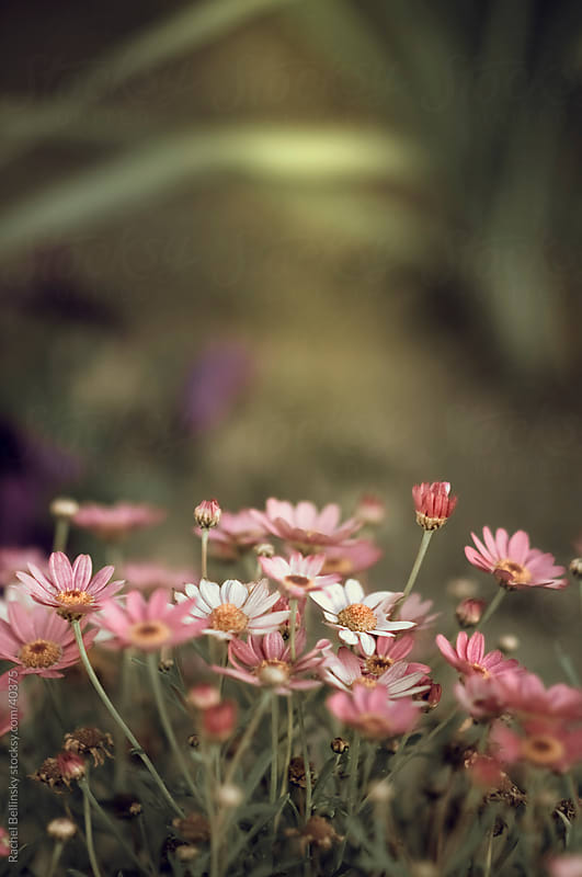 Pink flowers grow upward in a garden by Rachel Bellinsky for Stocksy United