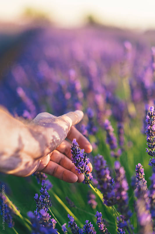 Male hand touching lavender flowers by Juri Pozzi for Stocksy United
