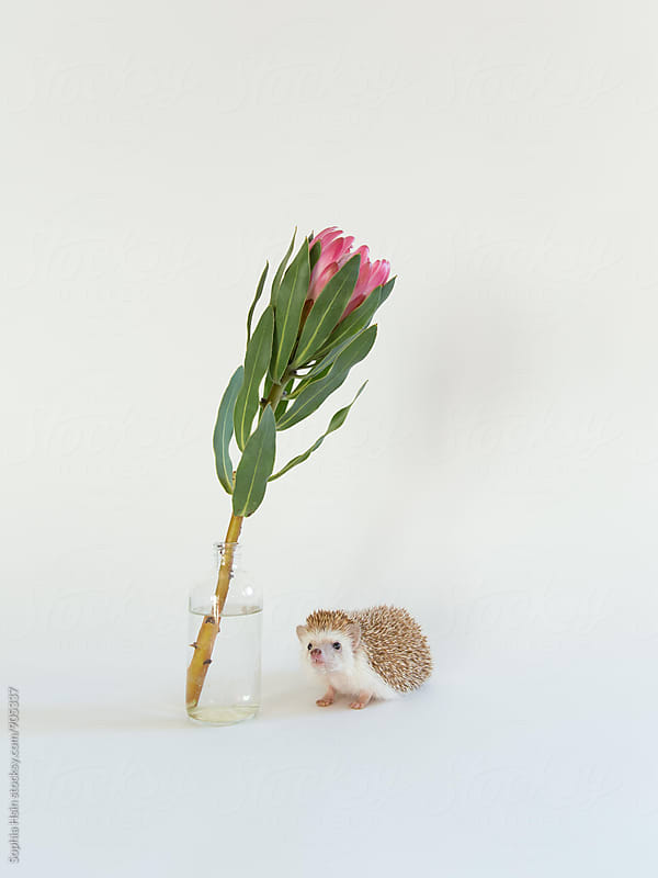 Hedgehog and Protea by Sophia Hsin for Stocksy United