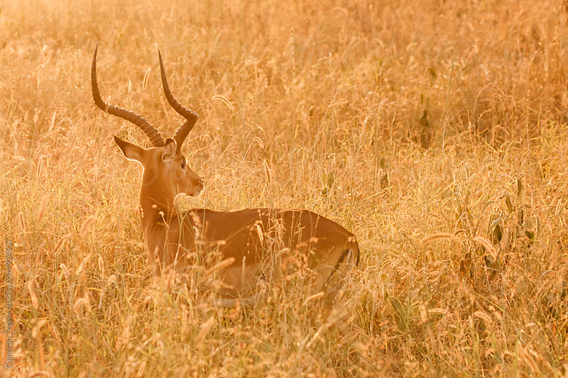 impala in grass at sunset by Cameron Zegers for Stocksy United