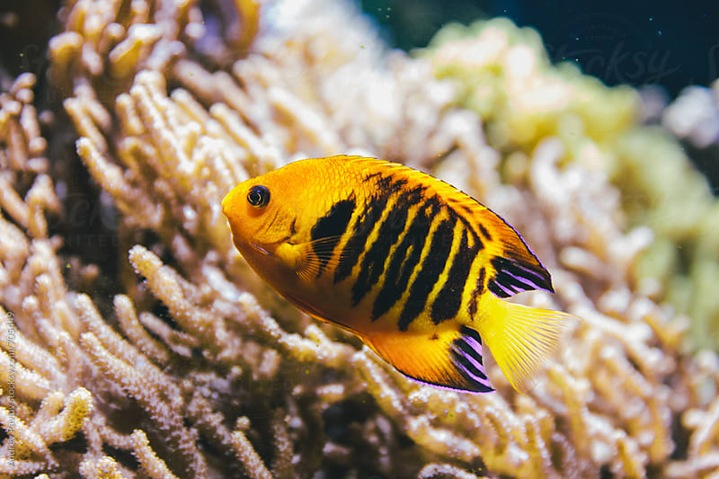 Yellow fish in front of anemone by Andrey Pavlov for Stocksy United