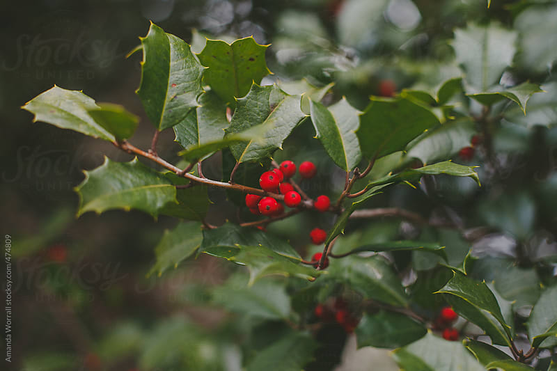 Holly tree at Christmas time by Amanda Worrall for Stocksy United
