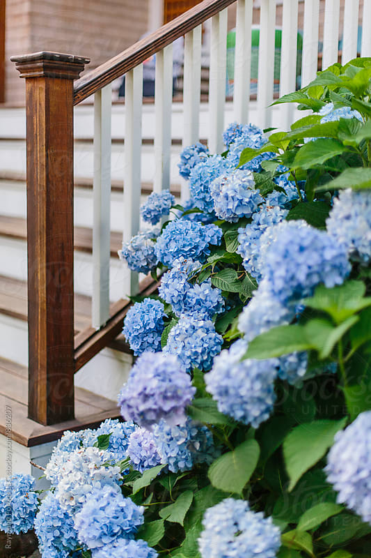Hydrangea Mid Summer New England by Raymond Forbes LLC for Stocksy United