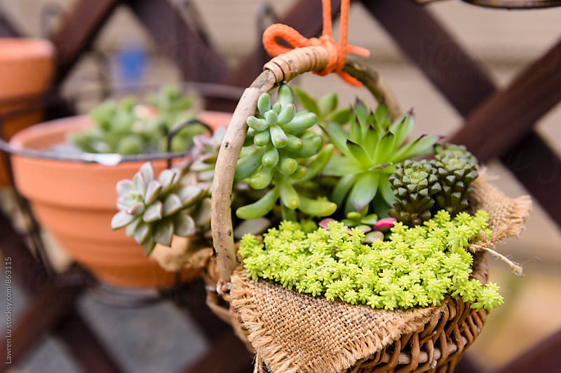 Many succulent plant in hanging basket by Lawren Lu for Stocksy United