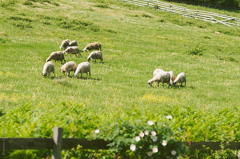 Herd of sheep on green meadow by Branislav Jovanović for Stocksy United
