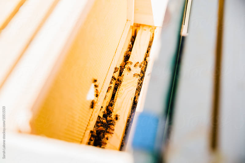 View inside a bee hive by Sarah Lalone for Stocksy United