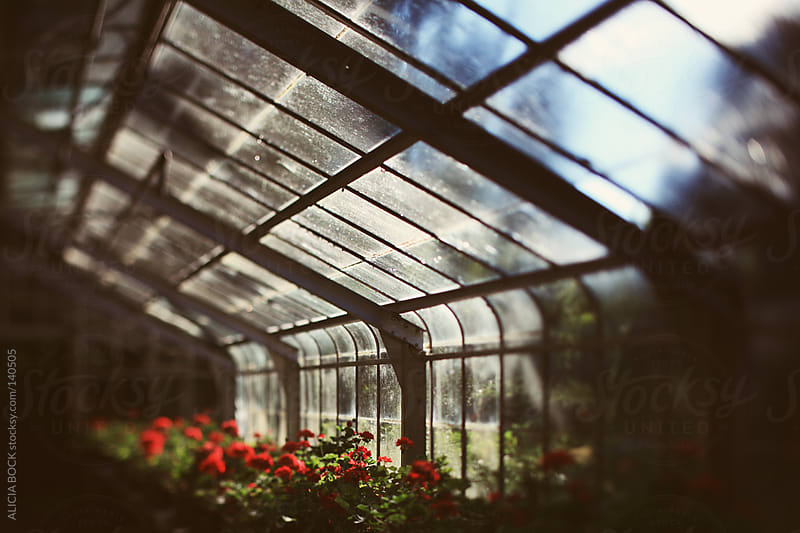 Geranium Flowers In The Greenhouse by ALICIA BOCK for Stocksy United