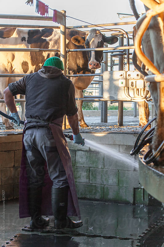 Farmer Milking the Cows by Rowena Naylor for Stocksy United