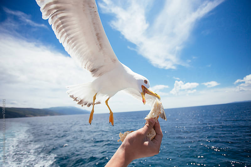 Men hand feeding seagull with bread by Marko Milovanović for Stocksy United