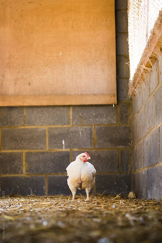 One free range chicken in barn at farm by Kirsty Begg for Stocksy United