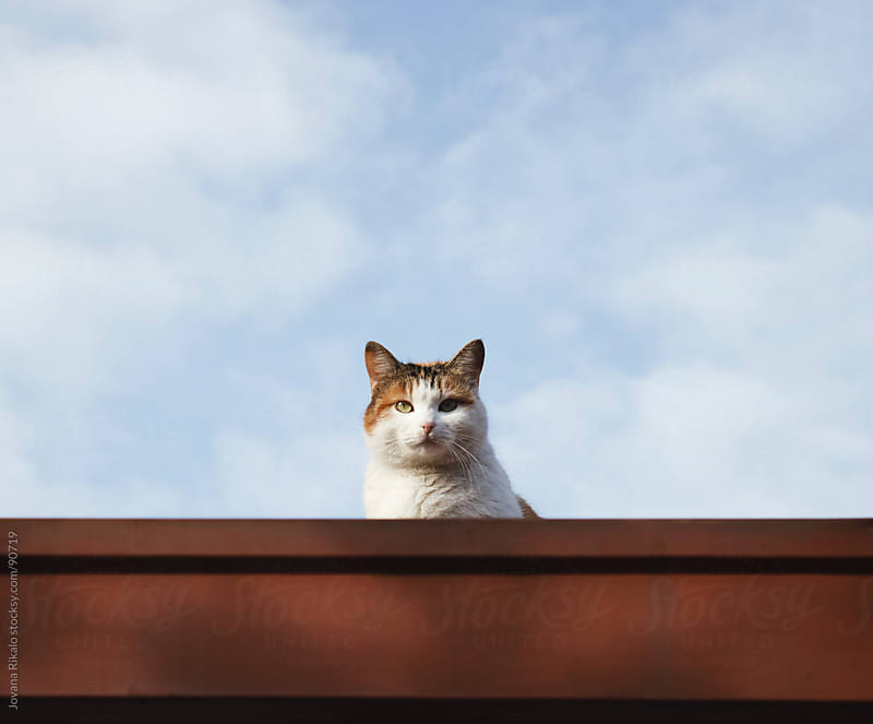 Cat on the roof by Jovana Rikalo for Stocksy United