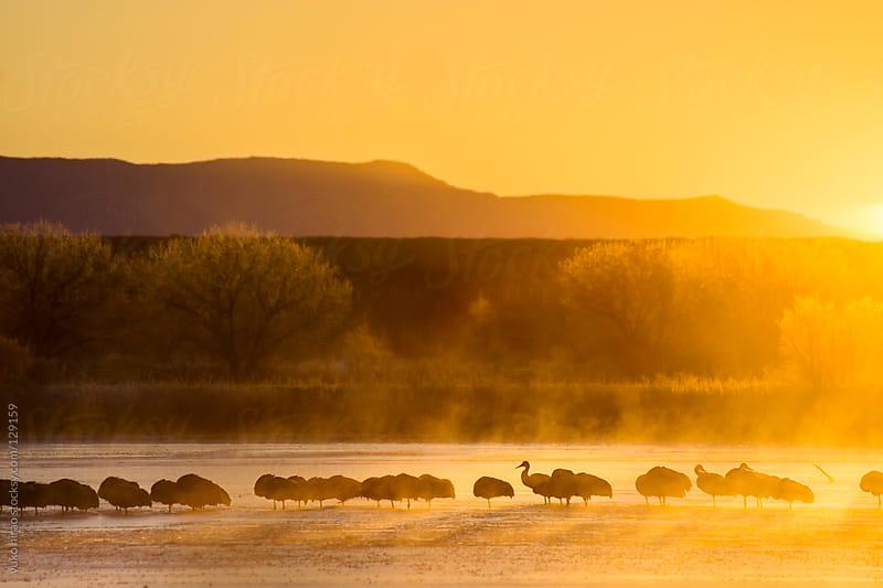 Resting birds at sunrise (Sandhil Cranes)  by yuko hirao for Stocksy United