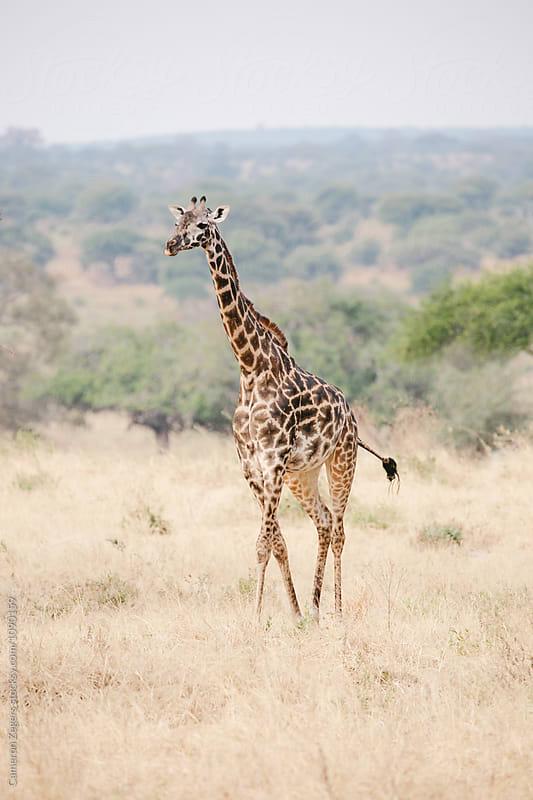 walking giraffe by Cameron Zegers for Stocksy United