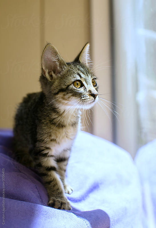 Adorable tabby kitten focused on something outside by Carolyn Lagattuta for Stocksy United