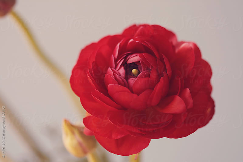 Red Ranunculus Against A Pastel Background by ALICIA BOCK for Stocksy United