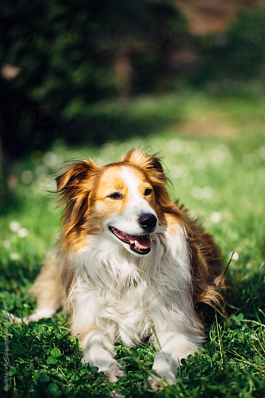 Beautiful dog in the nature by michela ravasio for Stocksy United