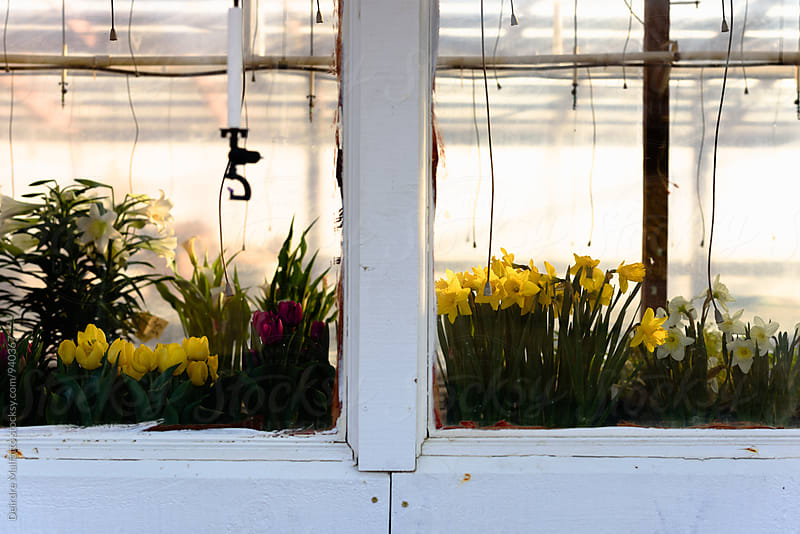 greenhouse window with spring flowers by Deirdre Malfatto for Stocksy United