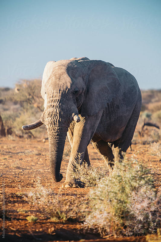 African Elephant by Micky Wiswedel for Stocksy United