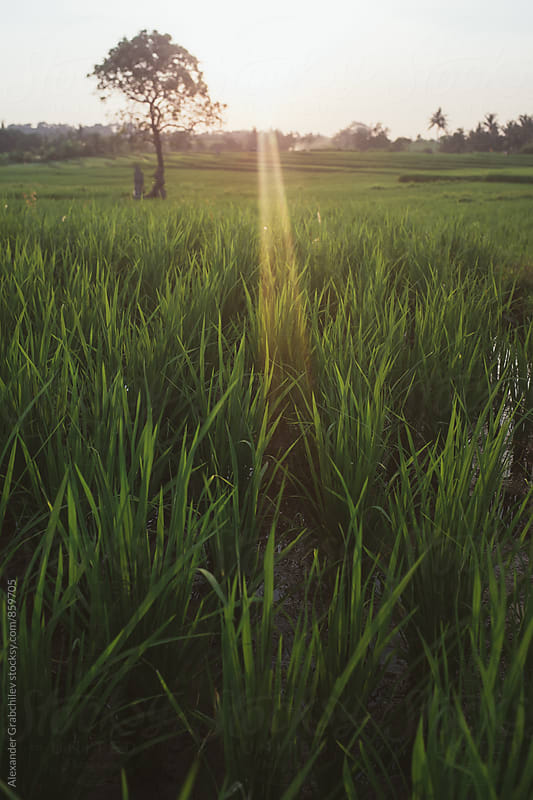 Rice Field In Sunset Light by Alexander Grabchilev for Stocksy United