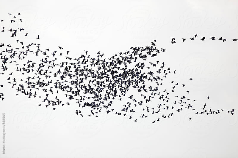 Flight of barnacle geese by Marcel for Stocksy United